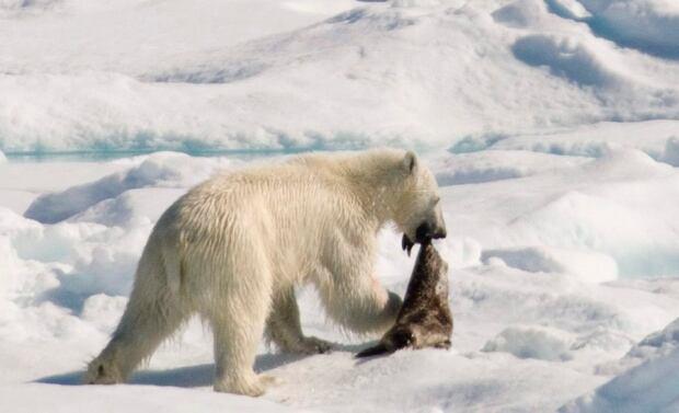 Polar bear with dead seal