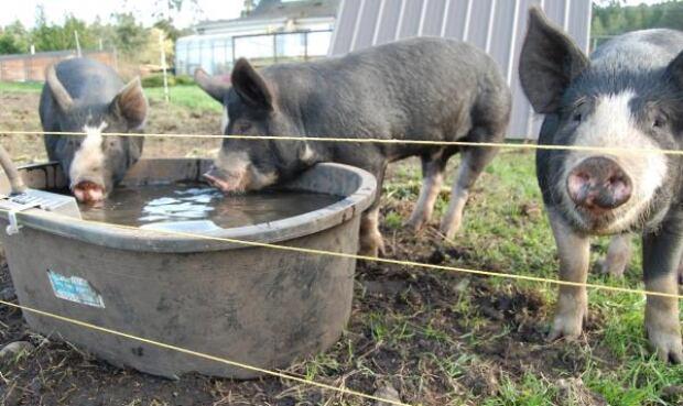 10 Acres pigs