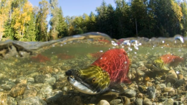A new report says climate change will lead to a decline in salmon stock and drive up the price of fish significantly in the coming decades.
