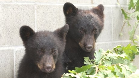 Orphaned black bear cubs saved by conservation officer to be released