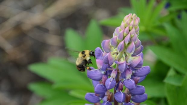 A red-belted bumblebee visits a large-leaved lupine.  Bumblebees are being wiped out the southern areas they once lived, but aren't expanding northward to compensate, a new study has found.