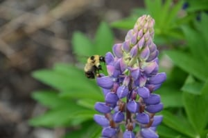 Red-belted bumblebee lupine