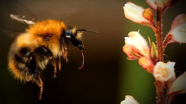 A new study shows low level exposure to neonicotinoid pesticides can impact the foraging behaviour of bumblebees on wildflowers.