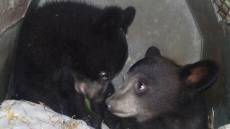 Saskatchewan bears