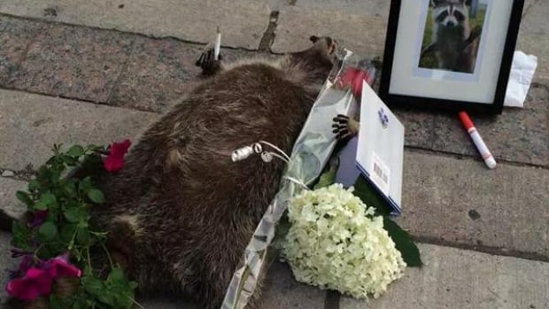 A dead raccoon dubbed Conrad on Twitter may be gone, but certainly won't be forgotten, according to one tweet. The animal was left on a Toronto sidewalk for 14 hours before Toronto's animal services unit was pressed to take it away.