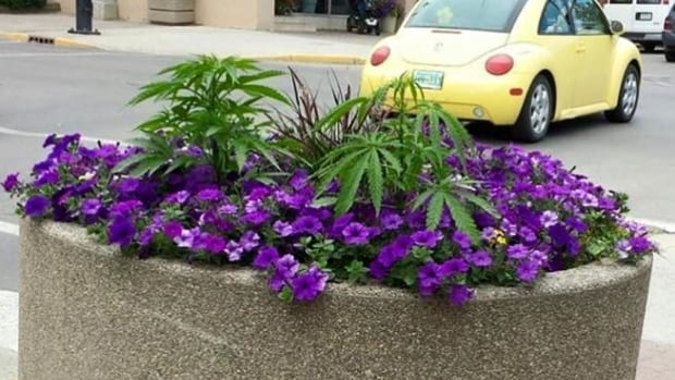 The marijuana plants discovered in Swift Current's public planters