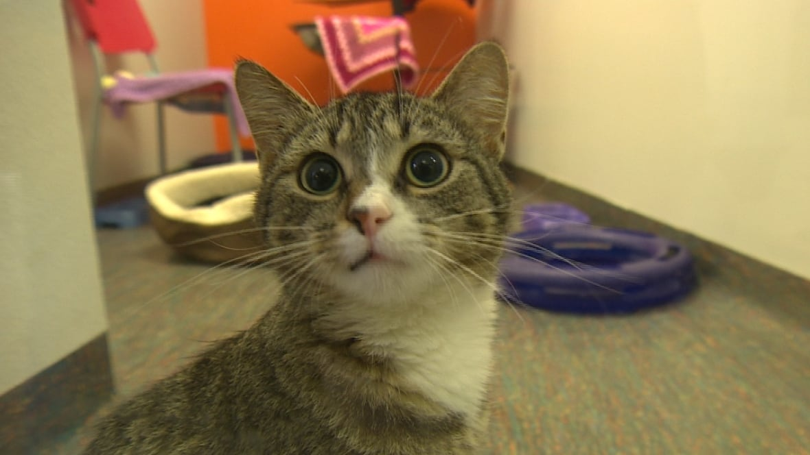 Windsor Humane Society Cats For Adoption