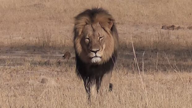 Cecil the lion was a top attraction at Hwange national park in Zimbabwe.