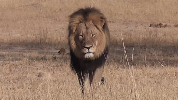 The killing of Cecil the lion at Hwange National Park in Zimbabwe has prompted several airlines to ban shipment of hunting trophies, including Air Canada.