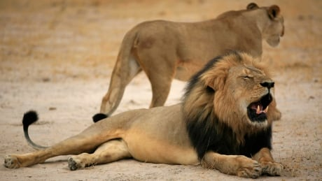 Killing of Cecil the lion prompts U.S. Fish and Wildlife investigation