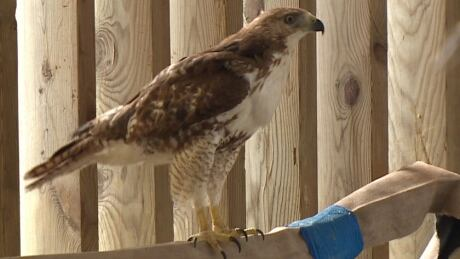 Hawk takes flight after feather transplant