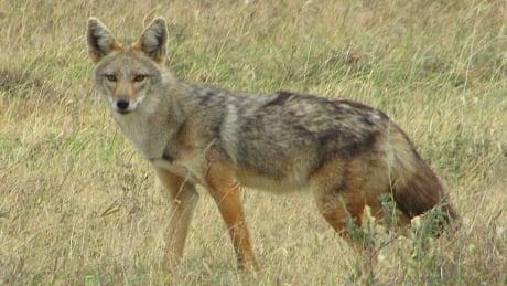 Golden  wolf Canus anthus