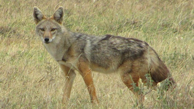 African golden wolves (Canis anthus), from Serengeti National Park, Tanzania, were previously thought to be the same species as the golden jackals of Europe. But they are so genetically different that they have been named as a new species.