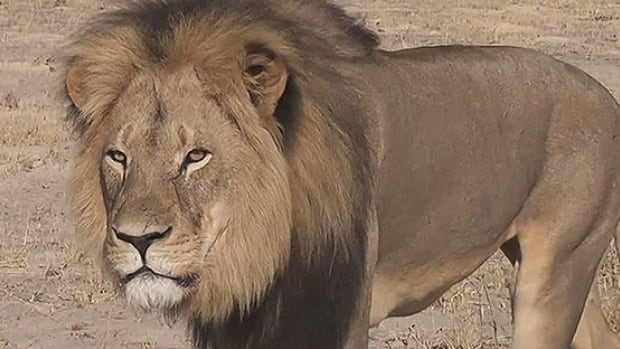 Tourists regularly spotted Cecil and his characteristic mane over the past 13 years, according to the conservation group Lion Aid.