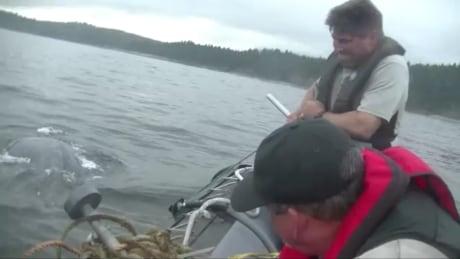 Whale entanglements increasing off B.C. coast