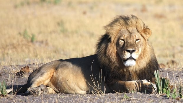 Jericho, brother to the famous slain lion Cecil, shown in this photo, is alive and well despite reports to the contrary, a researcher monitoring the pride says.