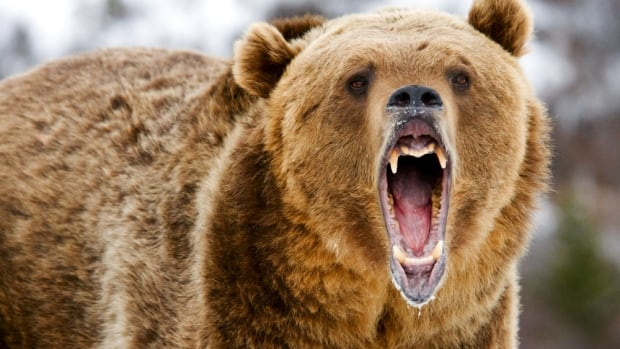 A grizzly bear with her cubs attacked two hunters near Fort Nelson, B.C.