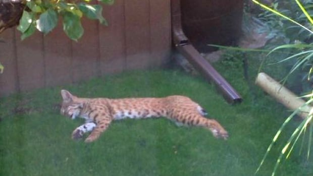 A Calgary couple snapped this picture of a sleeping bobcat in their backyard near Fish Creek Park on Sunday.