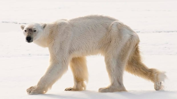 This very skinny male polar bear was seen last August swimming underwater for more than three minutes without coming up for air.