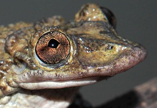 Greening's frog