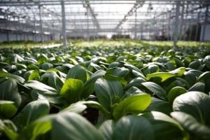 Lufa greenhouse in Ahuntsic