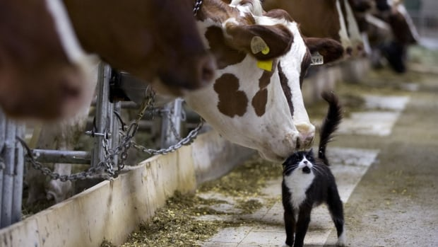 Dairy cows nuzzle a barn cat as they wait to be milked at a farm in Granby, Que.  Dairy farmers in New Zealand and the U.S. are urging their Canadian counterparts to abandon the subsidies that have long protected the industry and open their market as part of the Trans-Pacific Partnership trade talks.