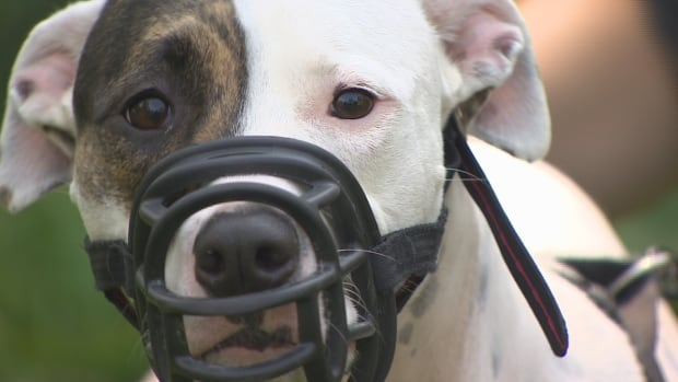 A Richmond couple want the city to create a test so that good-natured dogs with the dangerous breed label, such as their dog Peanut, don't have to wear a muzzle.