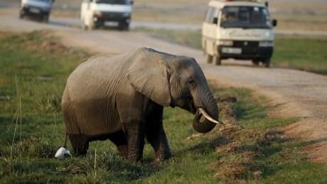 World Elephant Day KENYA-TOURISM Aug 2015 Amboseli Park