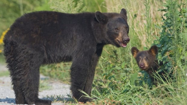 In the Minnesota study, a mother with two cubs showed the strongest stress response to the overhead noise of drones.