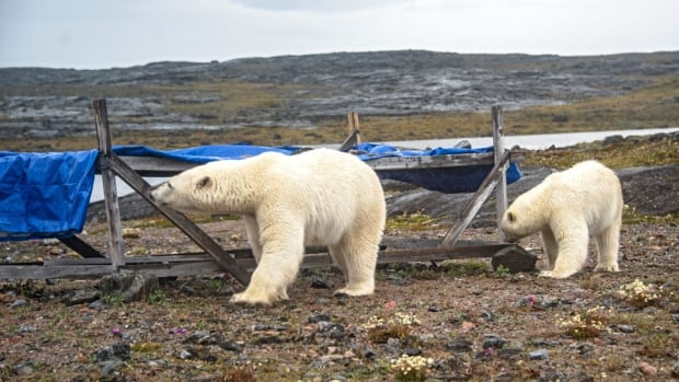 Two polar bears, a mother bear and her adolescent cub, approach a campsite near Chesterfield Inlet, Nunavut. Maggie Putulik grabbed her camera and started taking pictures — that is, until the mother bear began making her way toward the cabin.