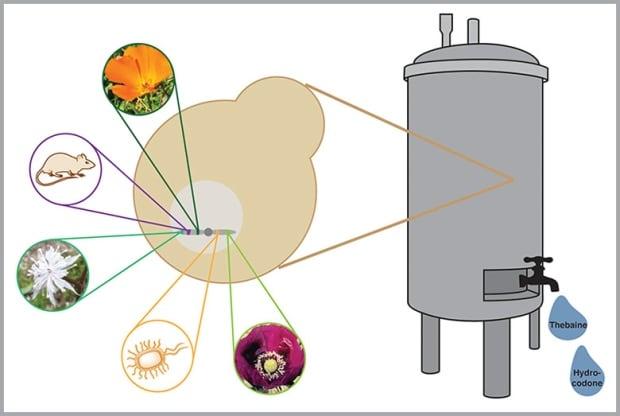 fermenter bioengineered yeast