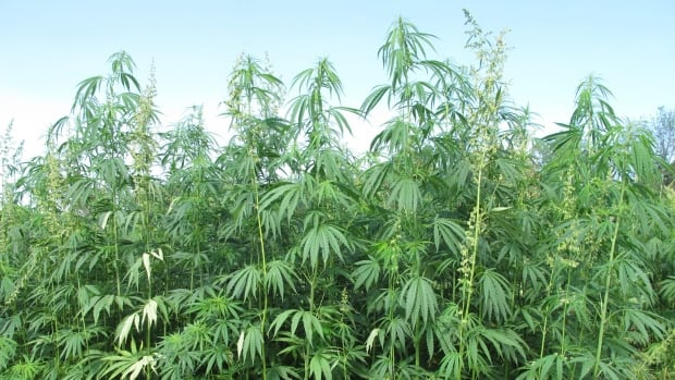 Hemp looks the same as marijuana, but it does not contain high levels of THC, the psychoactive compound.