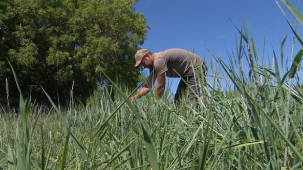 This farmer in Parkland County typically sells up to 70 per cent of his grain, but this year's dry conditions mean he will have to use every bit of his small yield to keep his own operation going.