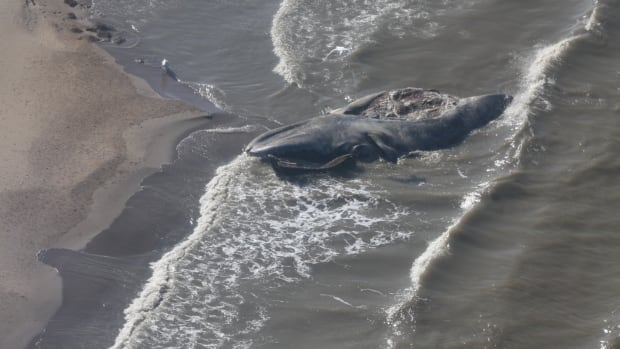 This photo, taken from a helicopter on Aug. 21, shows a dead bowhead whale on its back on a beach north of Tuktoyaktuk, N.W.T. Its tail is submerged in water.