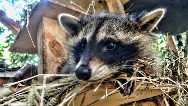 It had been ten years since rabies was found in Ontario raccoons. Now, three more cases have been discovered, the city confirmed Wednesday.