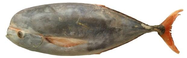 Louvar fish Luvaris imperialis