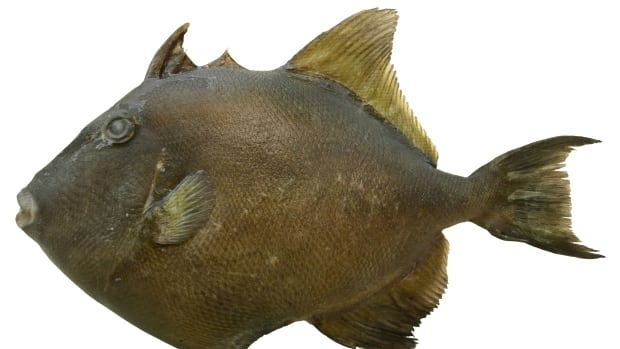 Several finescale triggerfish have been seen feeding in B.C. waters this summer.