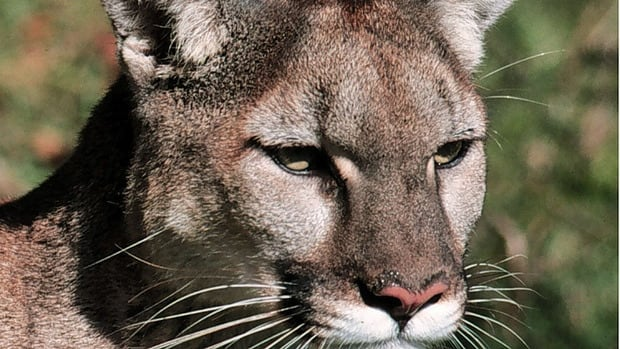 Cougar numbers are up across Canada, and the animals are expanding into new territory, says U of A researcher.