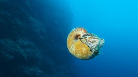 Nautilus Allonautilus scrobiculatus