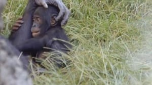 Baby bonobo gets settled