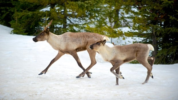 Boreal caribou were listed as threatened in Manitoba in 2006 under the Endangered Species and Ecosystems Act.
