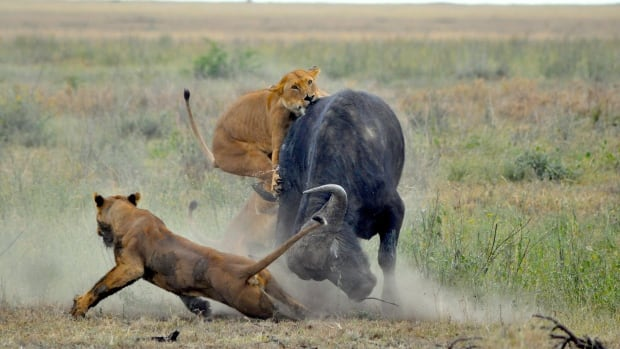 Lionesses attack a buffalo. A new study has found that the number of predators such as lions declines relative to their prey when there are more prey.