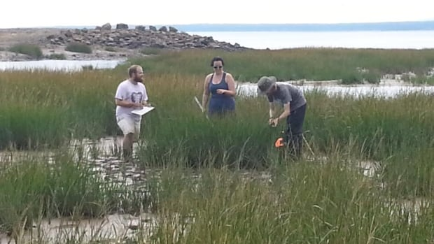 A salt marsh restoration project at Aulac involves Ducks Unlimited, three universities and the Department of Agriculture.