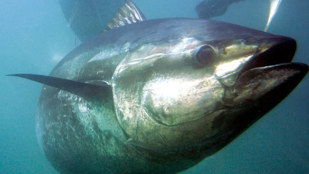 The bluefin tuna quota in Atlantic Canada was increased last year even though the giant fish still awaits a decision about whether it will be listed under the Species at Risk Act.