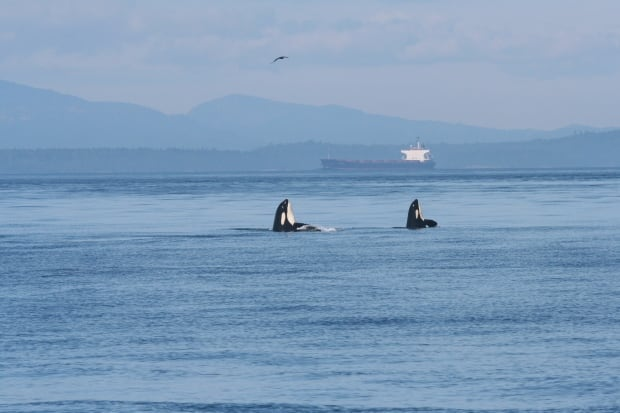 Orcas and a ship in Georgia Strait