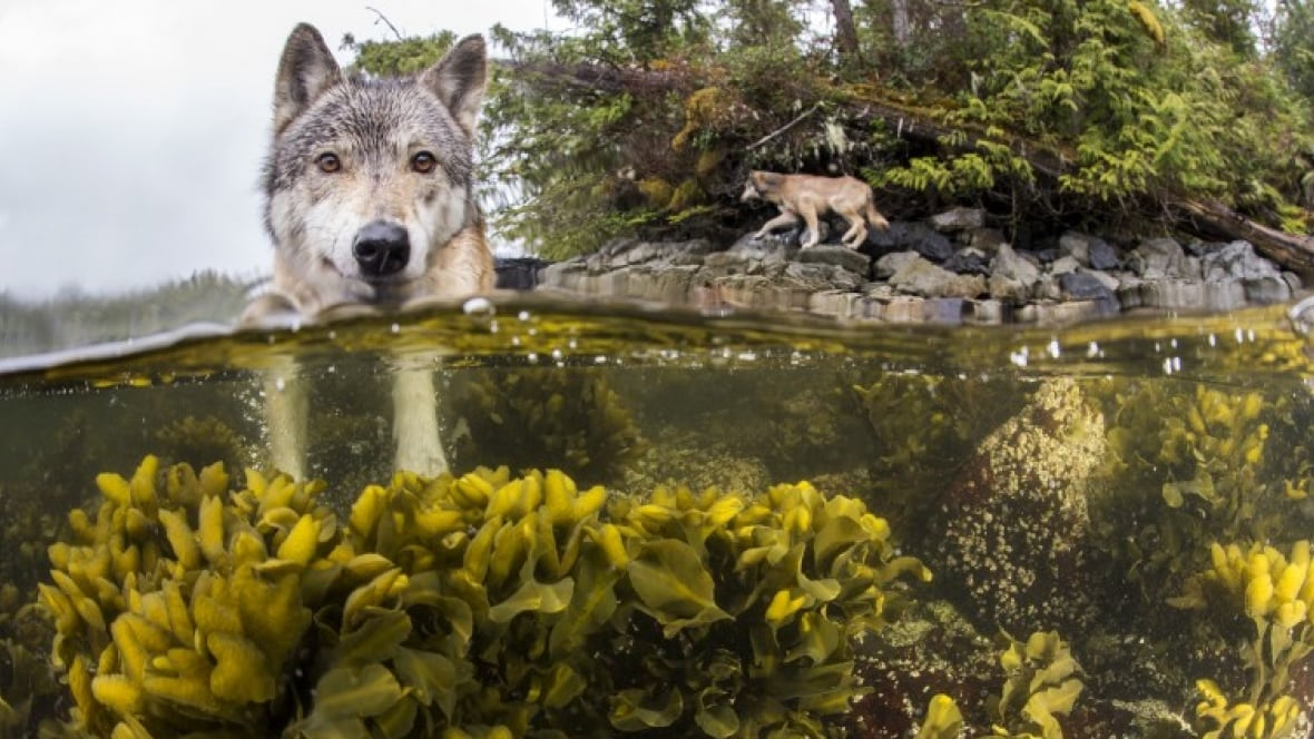 Great Bear Rainforest Live Cams Capture Wolves Seals And Salmon At Play British Columbia