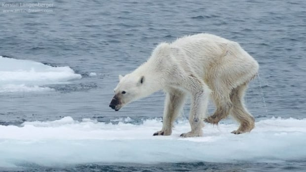 Kerstin Langenberger posted this photo on her Facebook page, and suggested a link between the polar bear's emaciated state and climate change. The photo has been shared more than 52, 000 times.