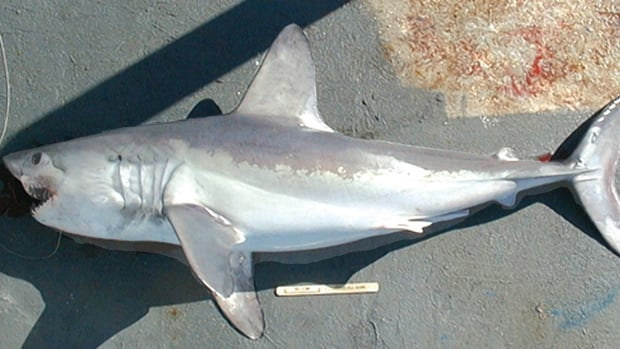 Porbeagle Shark - Endangered but not protected