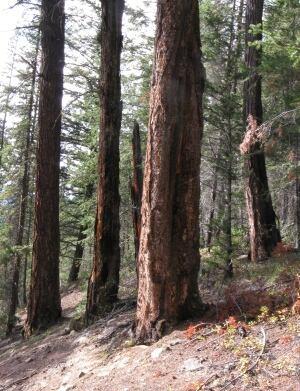 Tree ring sampling site