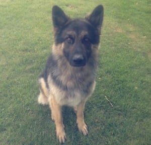 Lyall Trainor's German shepherd killed by wolves